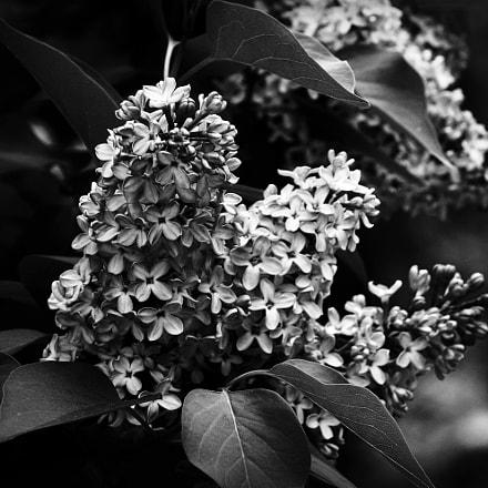 lilac, Canon EOS 40D