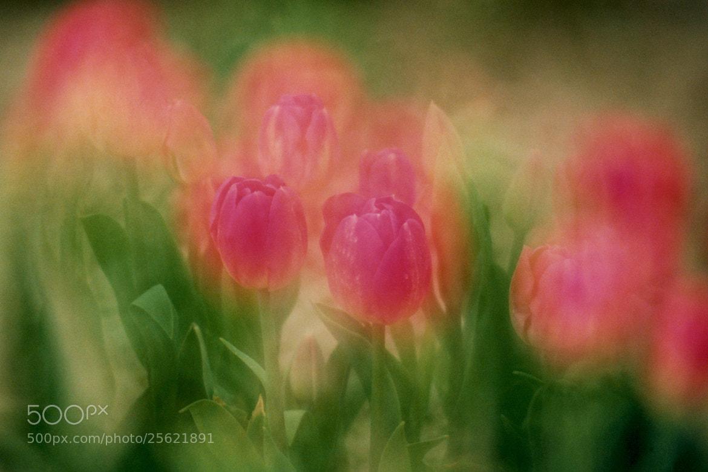 Photograph Film Series - Dream Tulips by Glenn  McGloughlin on 500px