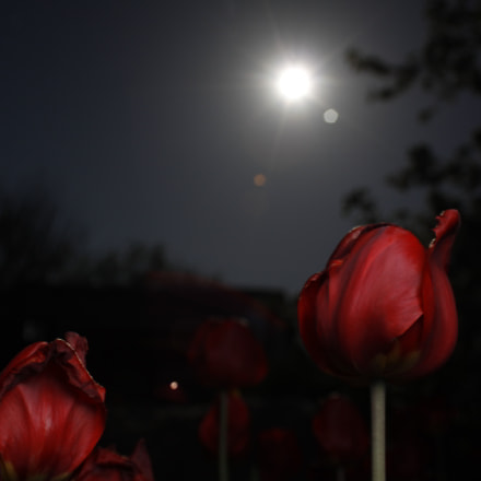 tulips under the moon, Canon EOS 50D, Canon EF 28-90mm f/4-5.6