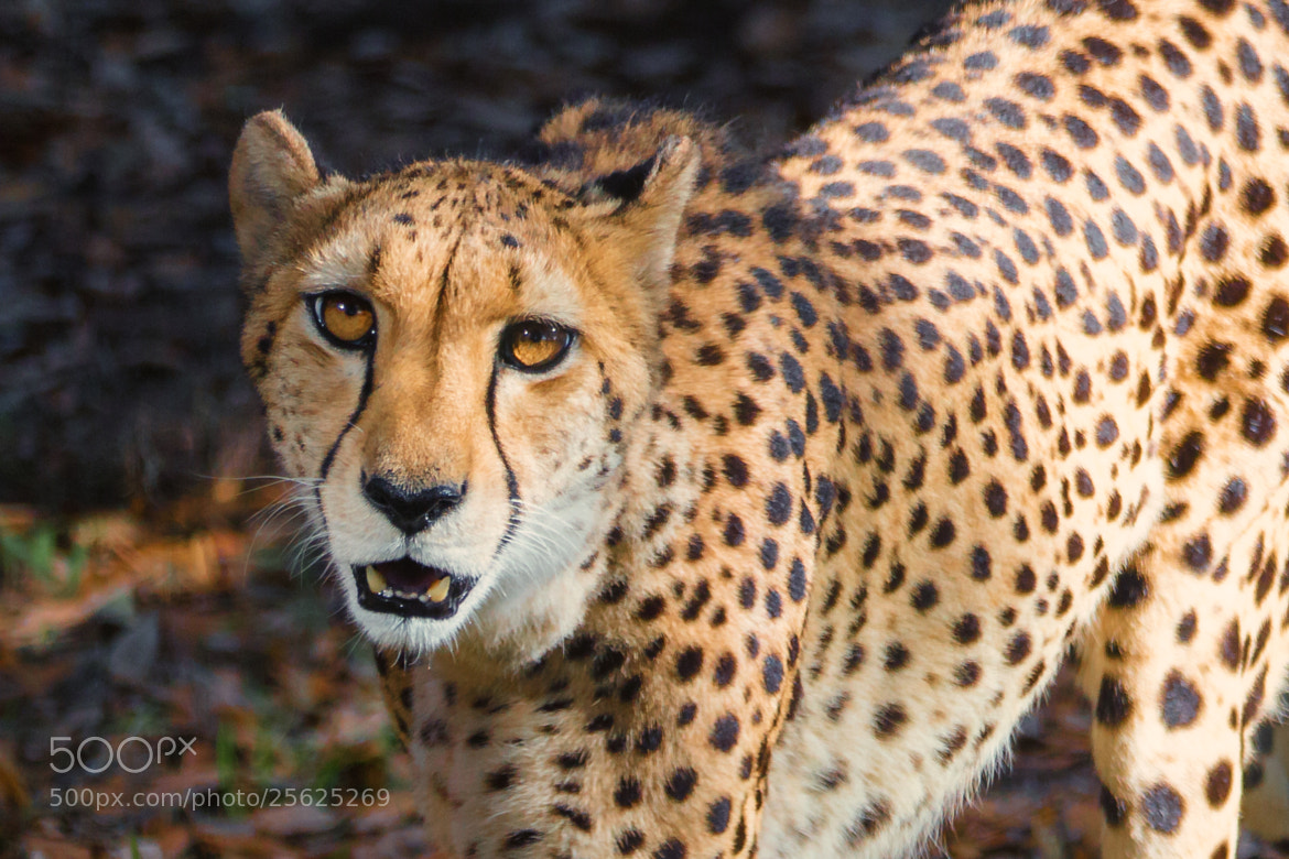 Photograph Cheetah by George Bloise on 500px