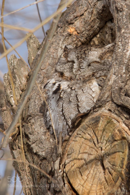Photograph Eastern Screech Owl by Gail MacLellan on 500px