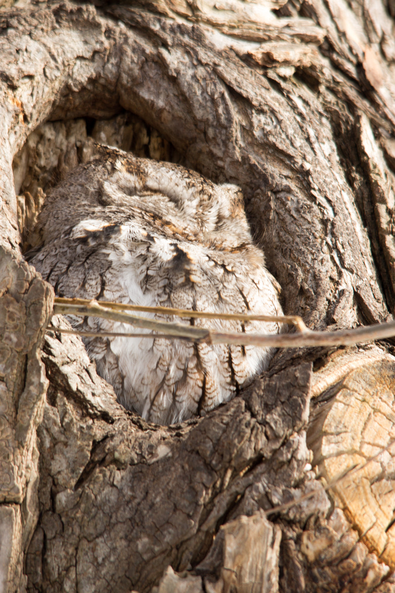 Photograph EasternScreech Owl by Gail MacLellan on 500px