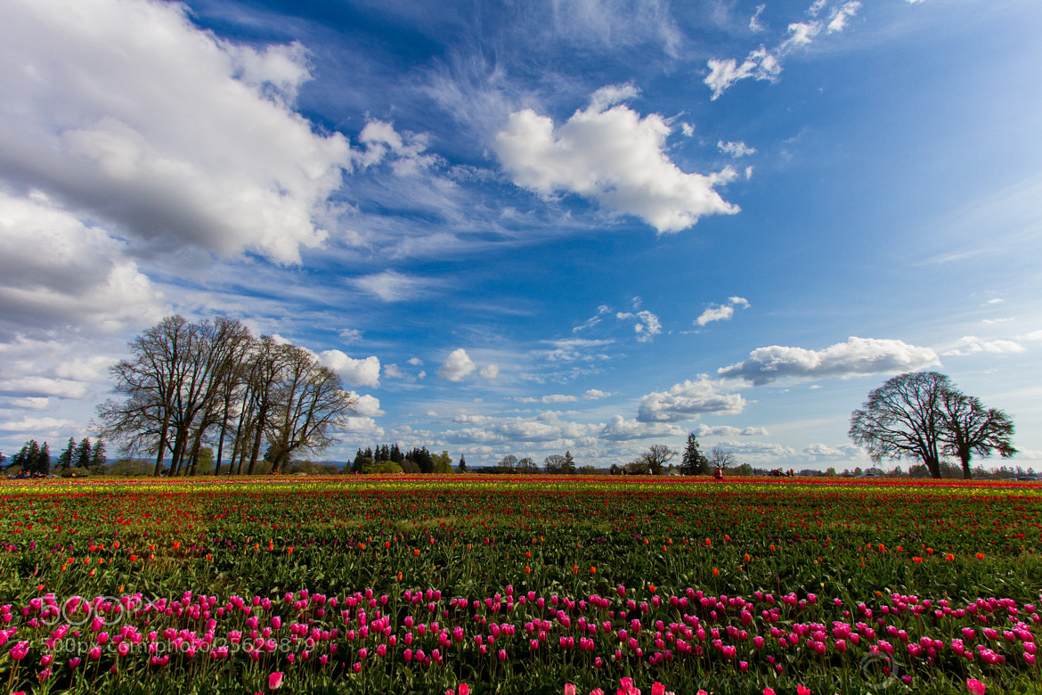 Photograph Tulip Fields at bloom by Sathya R on 500px
