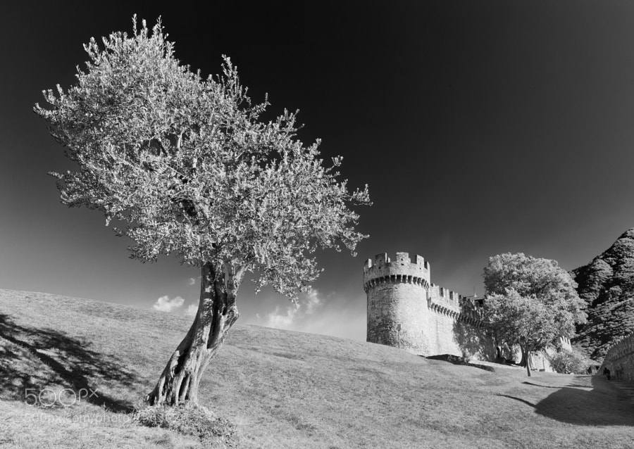 An old olive tree next to a castle in Bellinzona, Switzerland