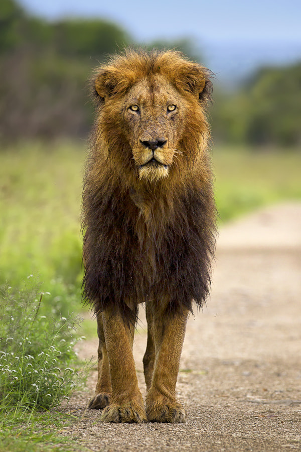 Photograph A Wet Lion by Mario Moreno on 500px
