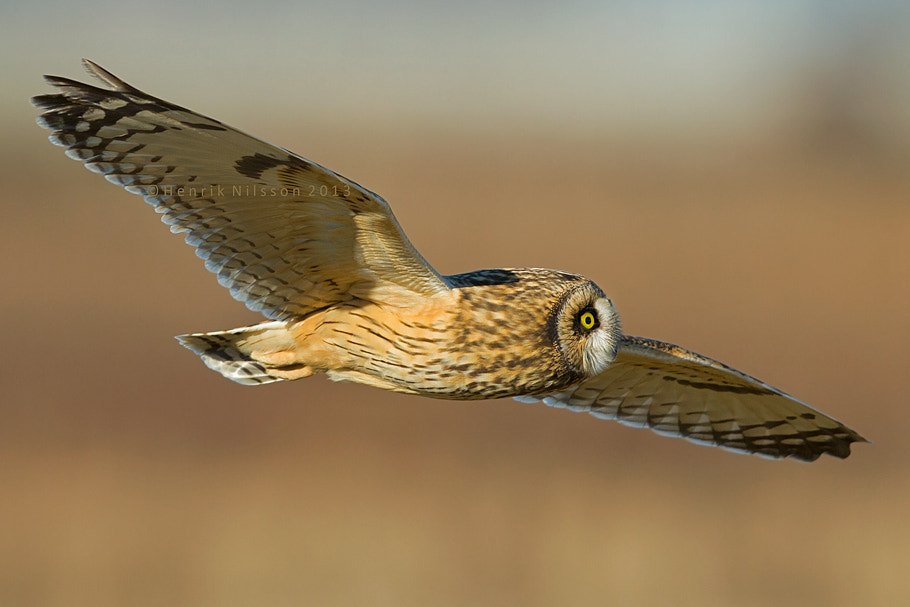 Photograph Short Eared Owl by Henrik Nilsson on 500px