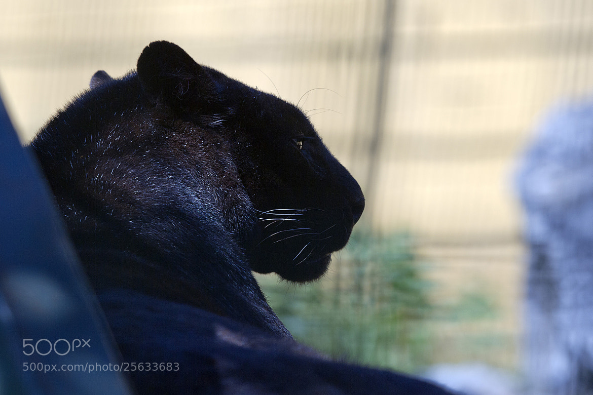 Photograph Black panther by Miquel Vernet on 500px
