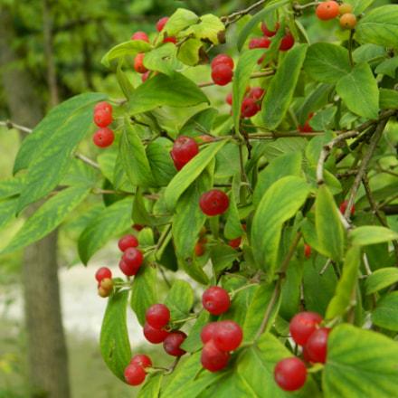Winter Berries, Nikon COOLPIX L310