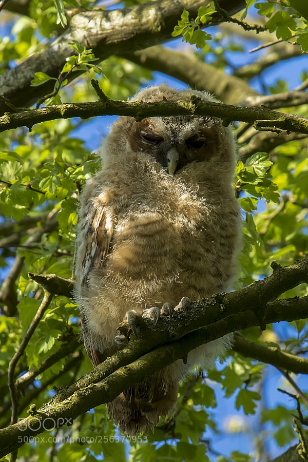 The young owl out the first time