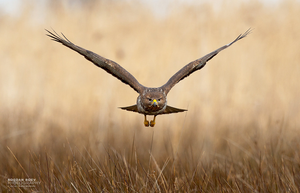 Photograph Common Buzzard by Bogdan Boev on 500px