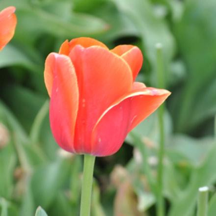 Tulip, Nikon D3000, AF-S DX VR Zoom-Nikkor 55-200mm f/4-5.6G IF-ED