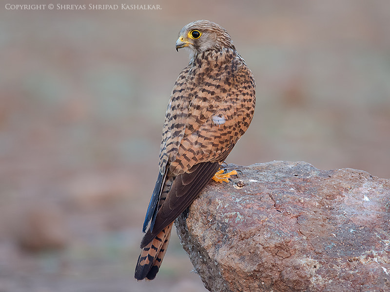 Photograph Common Kestrel  by Shreyas Kashalkar on 500px