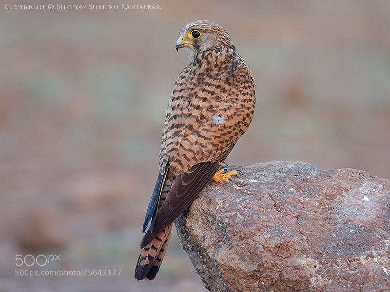 Photograph Common Kestrel  by Shreyas Kashalkar on 500px