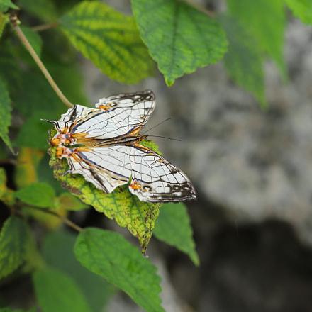 網絲蛺蝶(濕季型) Cyrestis thyodamas(white Form), Canon EOS 6D MARK II, Canon EF 300mm f/4L IS