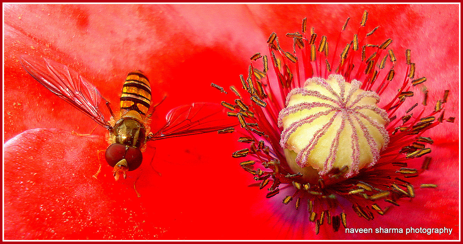 Photograph poppy flower n golden bee by naveen sharma on 500px