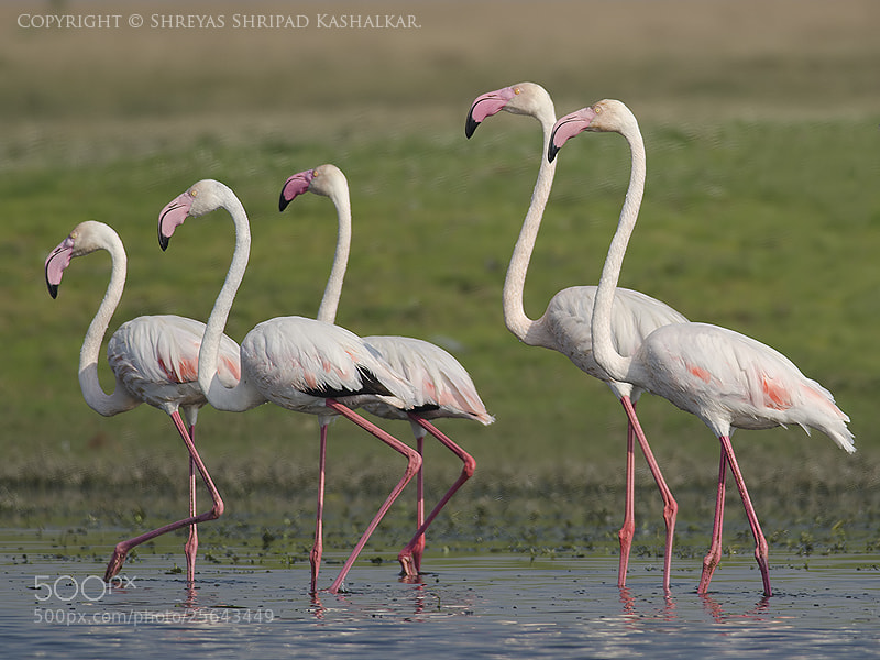Photograph Greater Flamingos by Shreyas Kashalkar on 500px