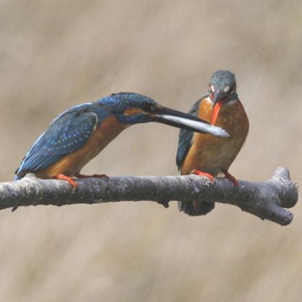 カワセミ Kingfisher feeding of love, Canon EOS-1D MARK IV, Canon EF 800mm f/5.6L IS