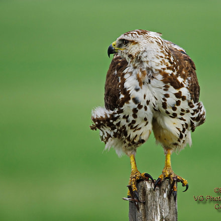 Young Red-tailed Hawk, Pentax K-5 II S