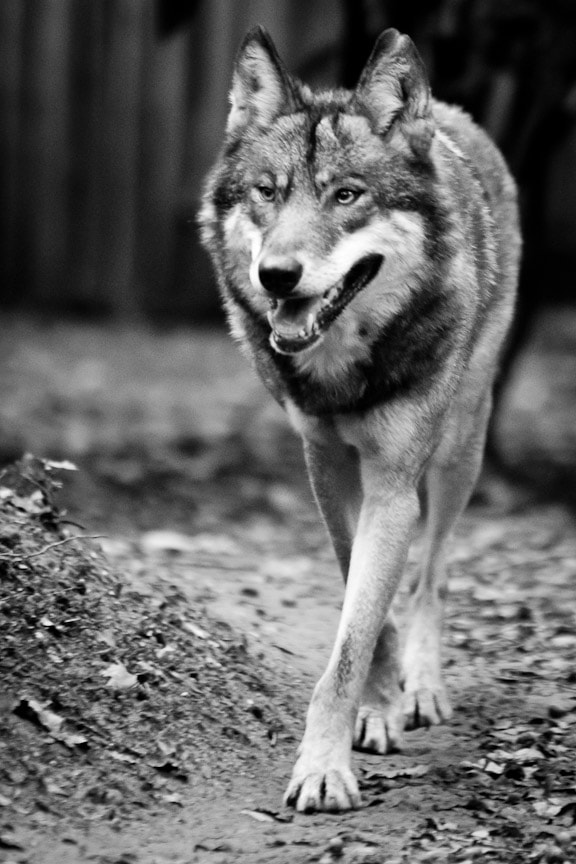 Photograph Grey Wolf by Lee Hayden on 500px