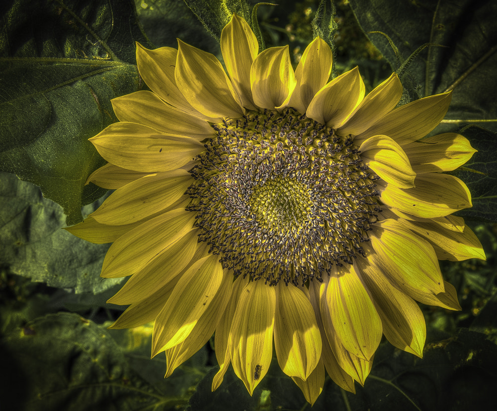 Photograph The SUN Flower 1 by Mike Janik on 500px