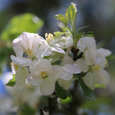 Apfelblüten, Canon EOS 7D MARK II, Sigma 70-200mm f/2.8 EX DG APO OS HSM