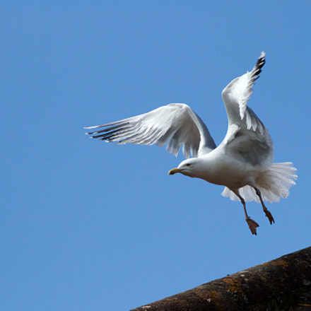 seagull, Canon EOS 77D