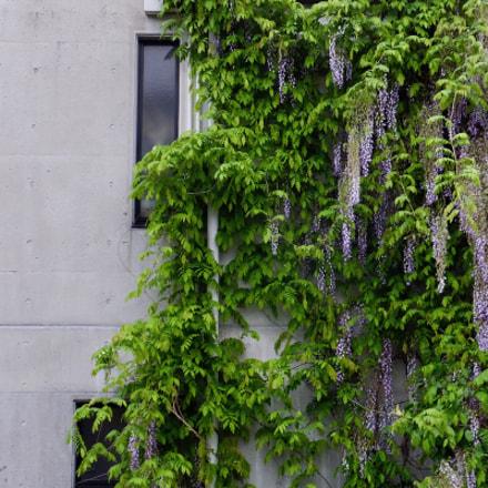 wisteria, Fujifilm FinePix F1000EXR