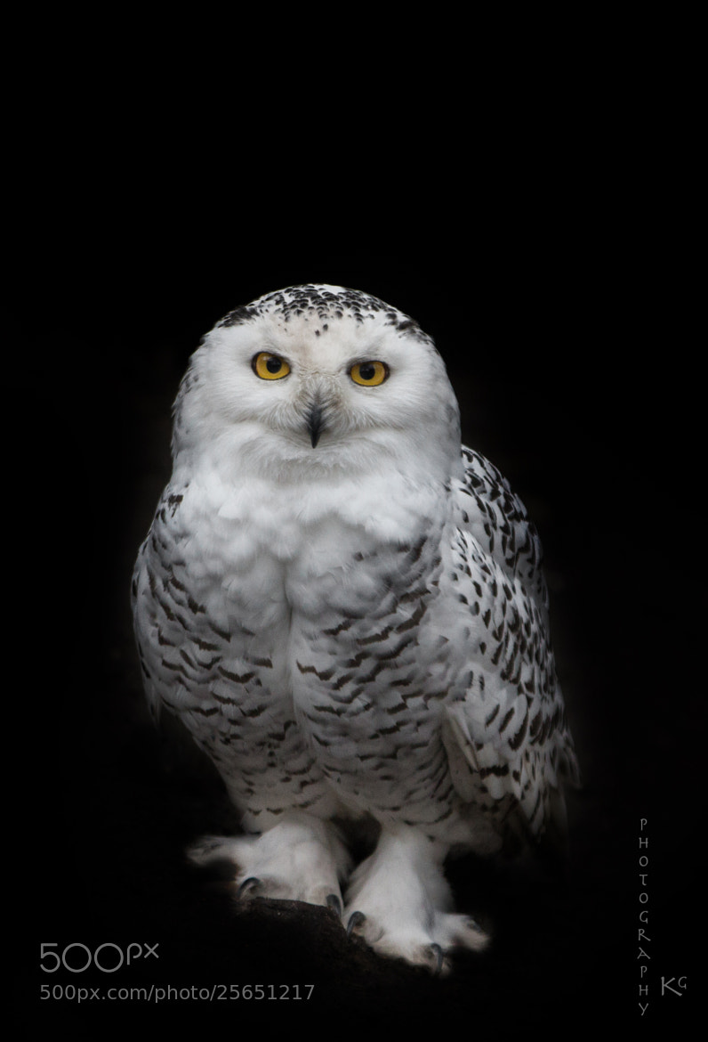 Photograph White owl by Katrin Gerchel on 500px