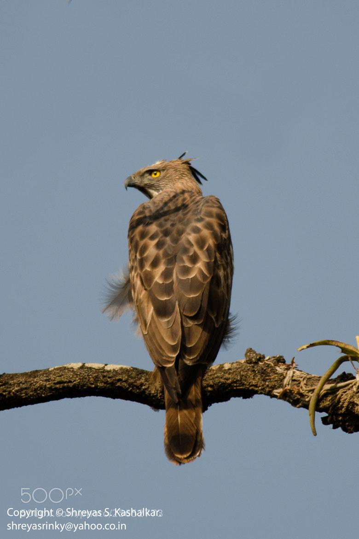 Photograph Changeable Hawk-Eagle by Shreyas Kashalkar on 500px