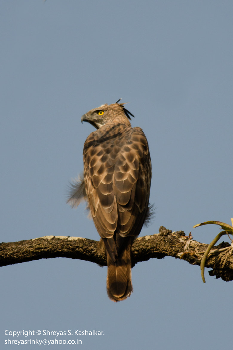 Photograph Changeable Hawk-Eagle by Shreyas Kashalkar on 500px