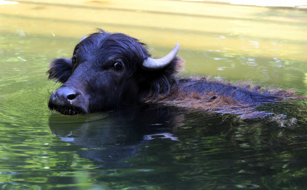 Photograph Young water buffalo by Rainer Leiss on 500px