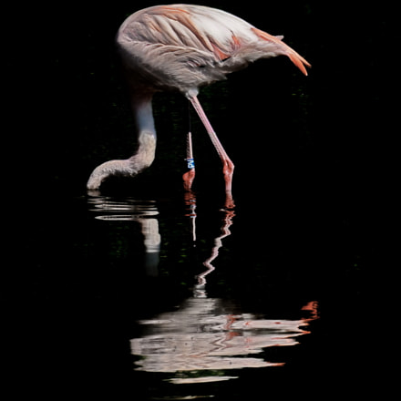 Phoenicopteridae looking for feed, Sony ILCE-7, Sony FE 70-200mm F4 G OSS