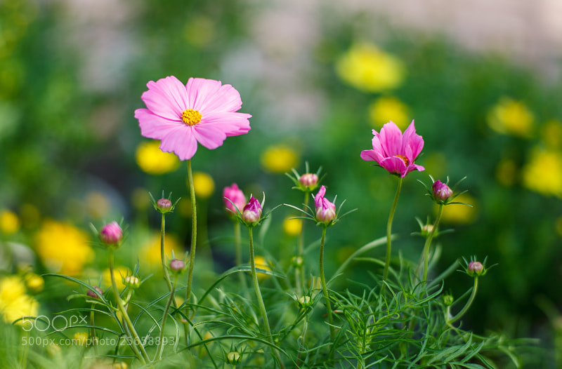 Photograph Pink flowers bloomsom by Hung Tran on 500px