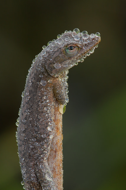 Photograph Green Anole covered w/ Dew by Jude  Haase on 500px