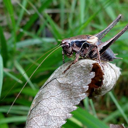 Dark bush-cricket with its, Sony DSC-W690
