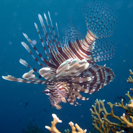 Lionfish, Nikon E4300