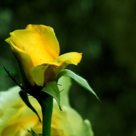 Yewolo rose, Nikon COOLPIX S8200