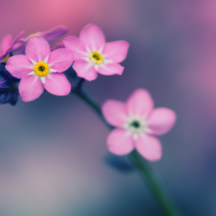 Pink Beauty, Nikon D500, AF Micro-Nikkor 200mm f/4D IF-ED