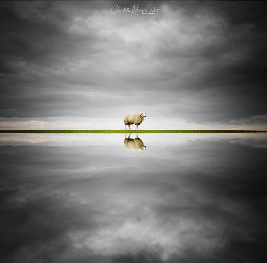 Sheep Reflection, автор — Carsten Meyerdierks на 500px.com