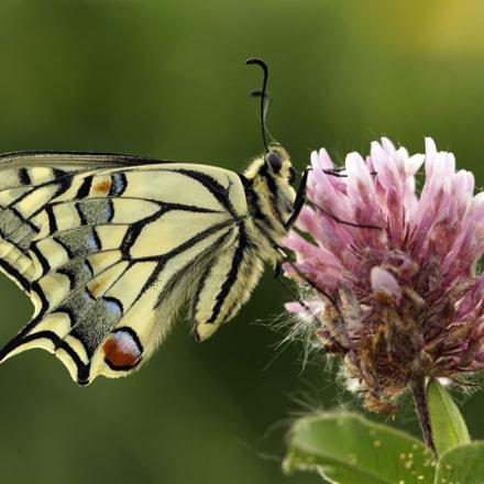 Schwalbenschwanz (Papilio machaon), Sony ILCA-77M2, Tamron SP 90mm F2.8 Di Macro 1:1 USD