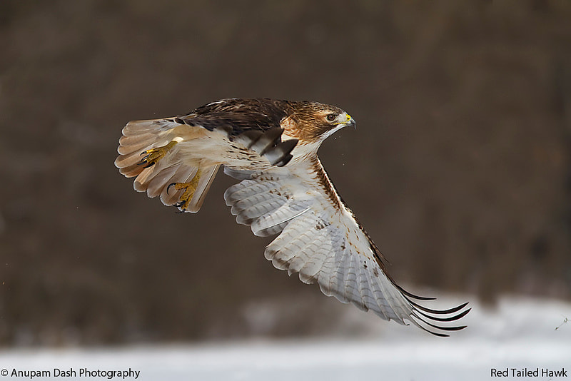 Photograph Red Tailed Hawk!! by Anupam Dash on 500px