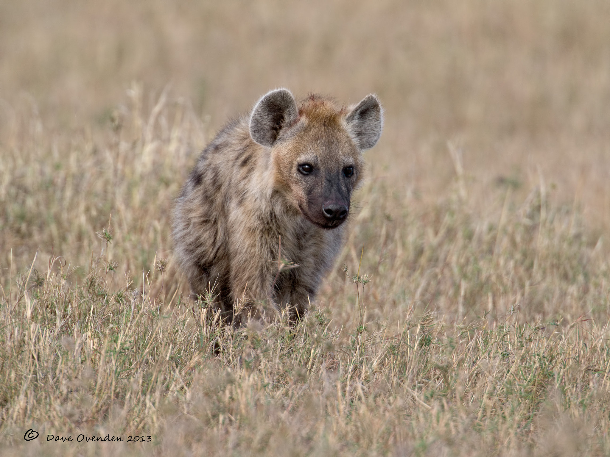 Photograph Hyena by Dave Ovenden on 500px