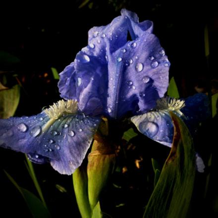 Early morning iris, Panasonic DMC-TZ35