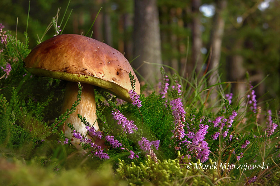 Photograph Boletus edulis by Marek Mierzejewski www.butterfly-photos.org on 500px