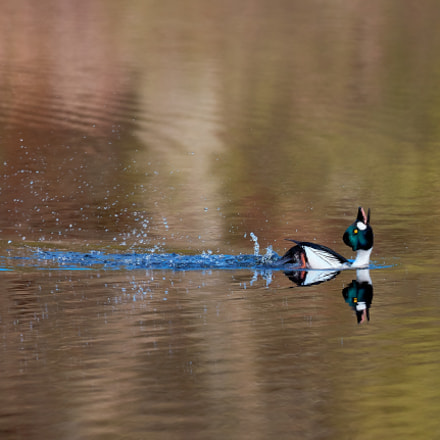 Common Goldeneye, Canon EOS 5DS R, Canon EF 100-400mm f4.5-5.6L IS II USM