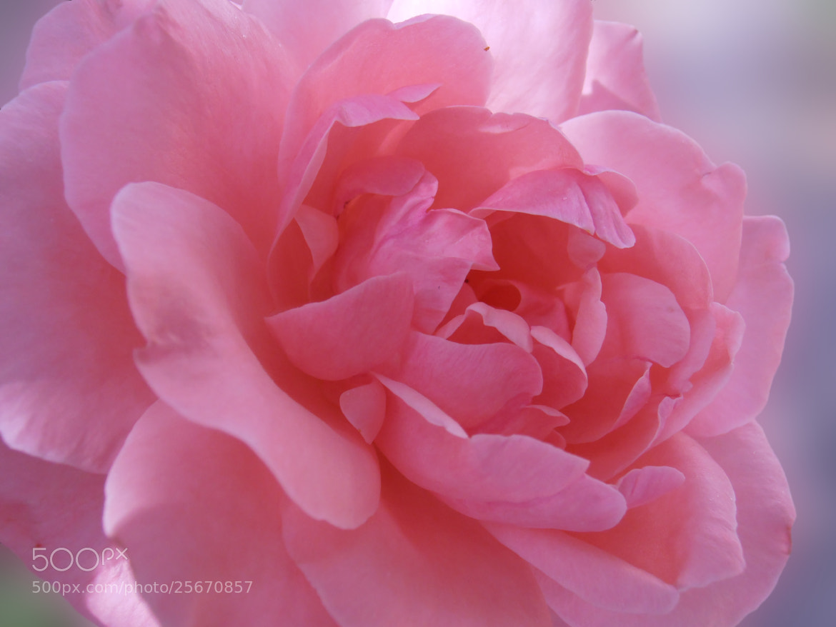 Photograph Lovely pink ... by Snezana Petrovic on 500px