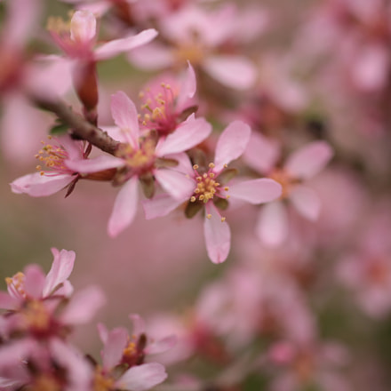 ornamental almonds, Canon EOS 5D MARK II, Sigma 50mm f/1.4 EX DG HSM