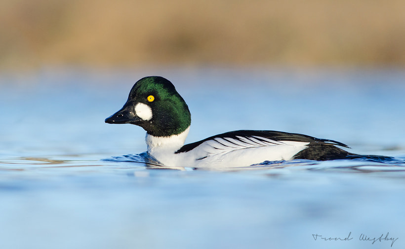 Photograph Common goldeneye by Trond  Westby on 500px