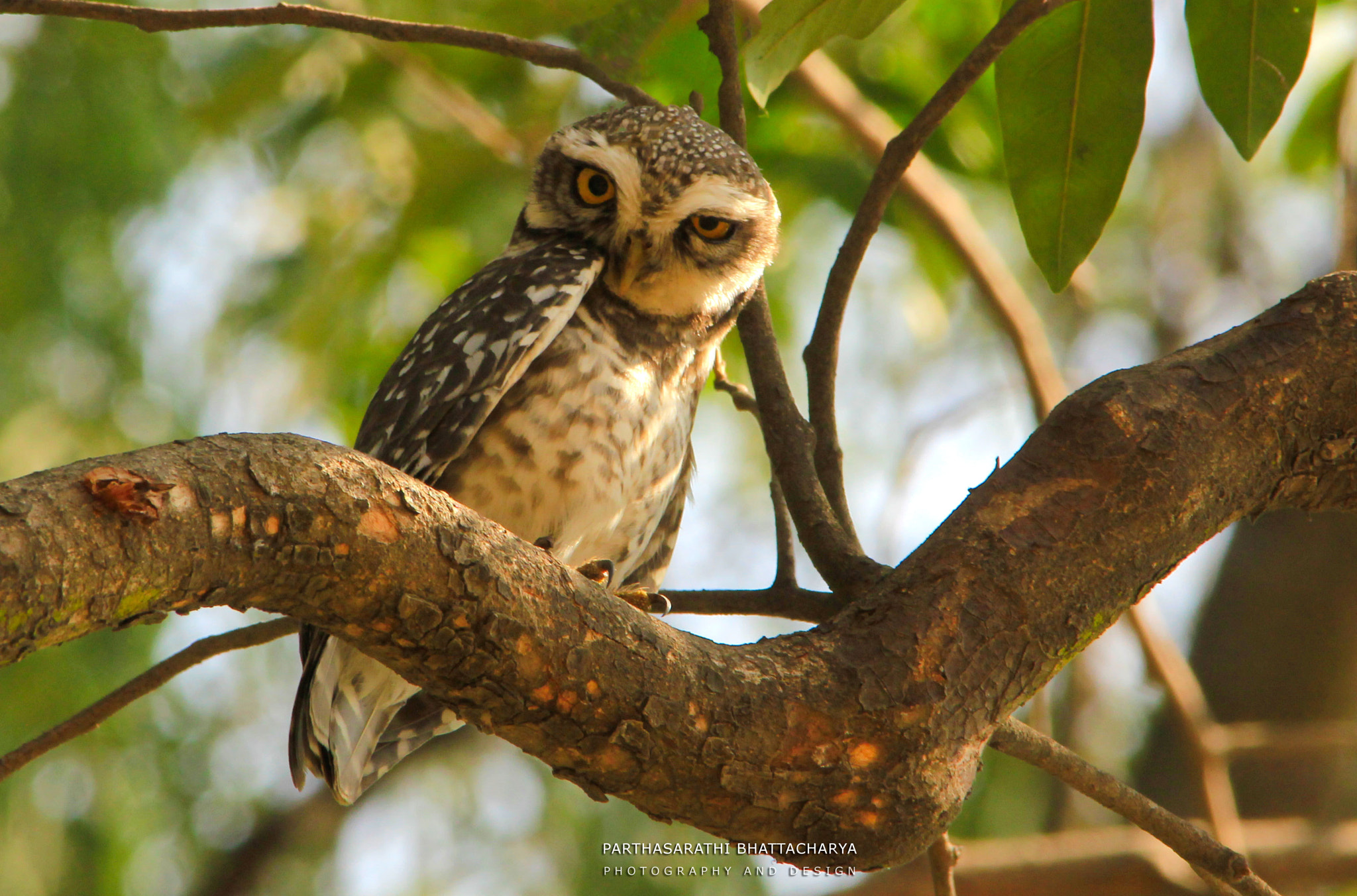 Photograph Forest Spotted Owlet by Parthasarathi Bhattacharya on 500px