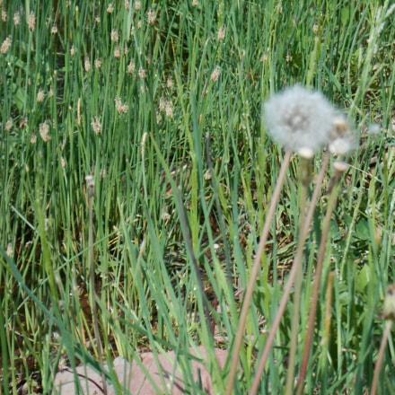 Maslacak/Dandelion, Nikon COOLPIX S2700